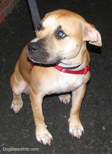 The front right side of a red American Staffordshire Terrier puppy that is sitting on a blacktop and it is looking to the left.