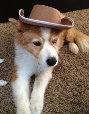 A sable and white Aussie Siberian puppy is laying on carpet and it is wearing a cowboy hat.