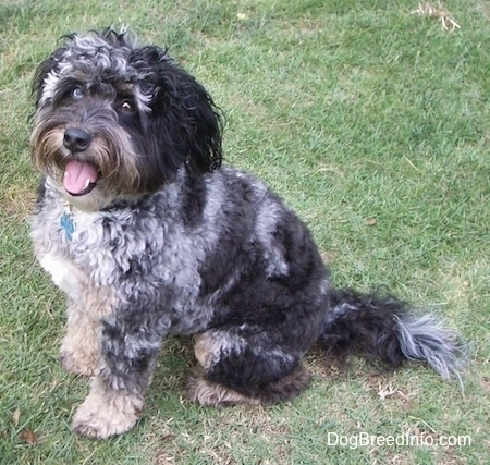 Left Profile - A happy-looking, wavy-coated, black, grey and white Aussiedoodle dog is sitting in grass and it is looking to the left of its body. Its mouth is open and tongue is slightly out.