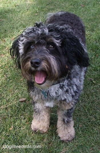 A merle Aussiedoodle is standing on grass with its mouth open and tongue out. It is looking to the left.