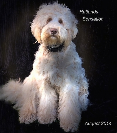 A white Australian Cobberdog is sitting in front of a wood texture background. The words - Rutlans Sensation August 2014 - are overlaid on the image.