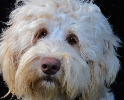 Close up - Head shot of a white Australian Cobberdog, its head is slightly tilted to the right.