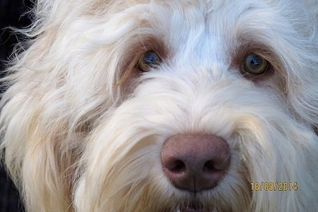 Extreme Close up - The face of a white Australian Cobberdog that is looking forward.