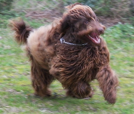 The right side of a milk chocolate Australian Cobberdog that is running across a yard.
