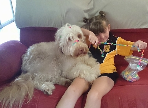A white Australian Cobberdog is laying across the lap of a little girl. They are sitting on a couch.