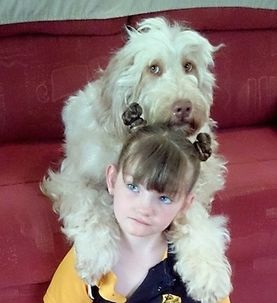 A white Australian Cobberdog is on a couch with its paws laying on the shoulders of a little girl who is sitting on the floor.