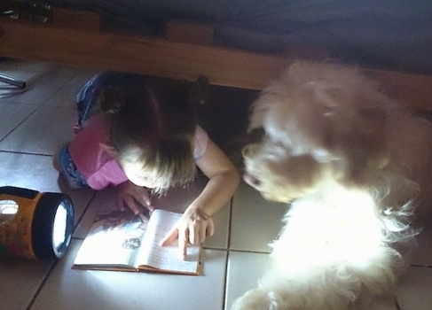 The left side of a white Australian Cobberdog that is reading a book under a bed with a little girl.