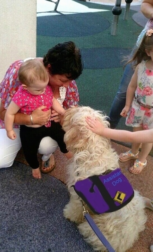 The back of a working Australian Cobberdog that is being pet by a baby and an adult.