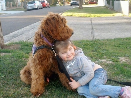 The front right side of a brown Australian Cobberdog that is sitting on grass with a little girl.