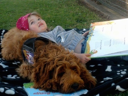 The front right side of an Australian Cobberdog that is laying down on a blanket with a little girl using it as a pillow as she reads a book.