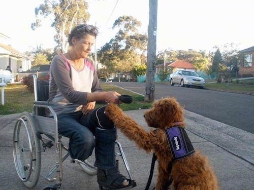 The back left side of a brown Australian Cobberdog that is assisting an amputee who is in a wheelchair.