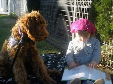 The front right side of a brown Australian Cobberdog that is sitting on a blanket with a little girl reading book.