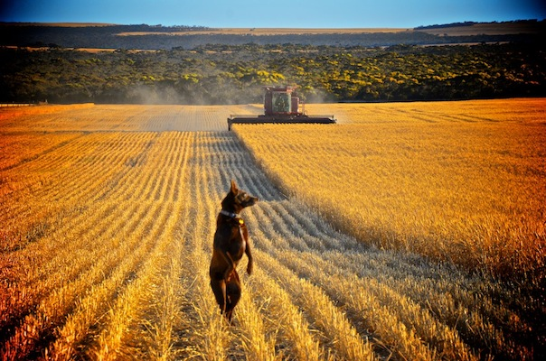 The front right side of an Australian Kelpie that is standing on its hind legs in a field which is being farmed.