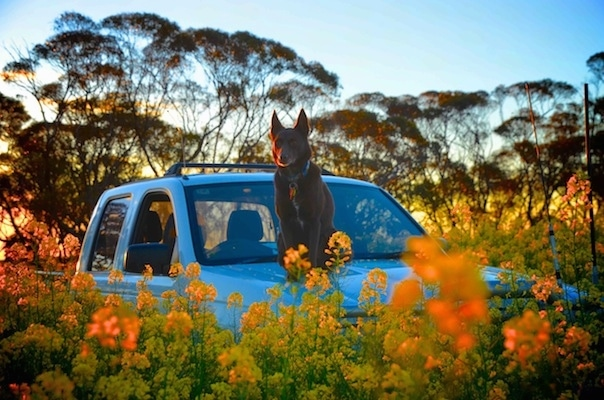 An Australian Kelpie is sitting on the roof of a pick-up truck in a field of flowers.