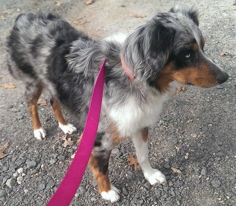 Skye the Australian Shepherd standing on a blacktop wearing a hot pink leash