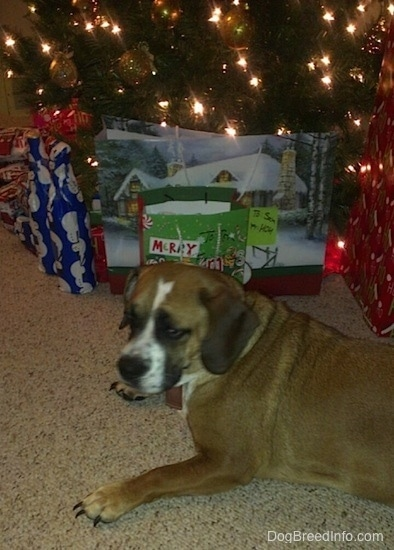 The left side of a brown with white and black Beabull that is laying in front of a Christmas tree with gifts under it.