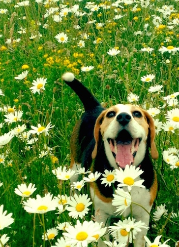 Koko the Beagle in a field of daisy flowers with its mouth open