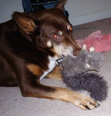 Vito the Beaski laying down and playing with a plush squirrel toy