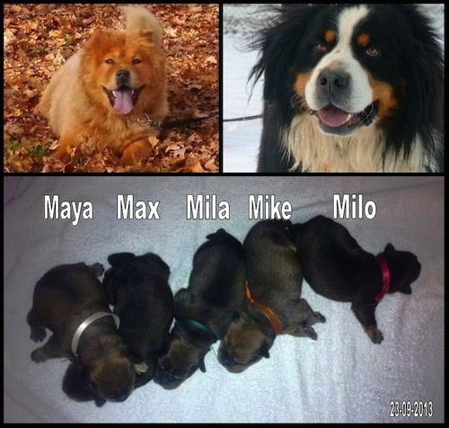 Top Half - Berner Chow Parents, Bottom Half - Berner Chow Puppies