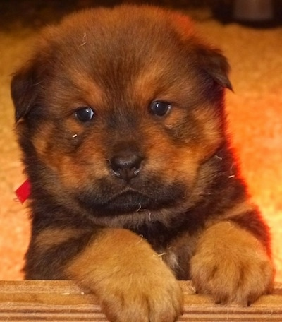 Close Up - A chocolate and tan Berner Chow puppy is laying on a rug and it is looking to the left.