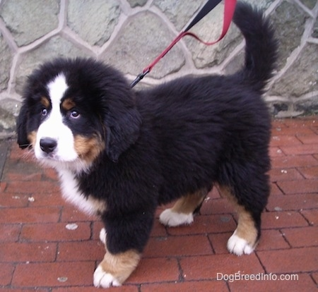 Marley the Bernese Mountain Dog puppy standing on a brick floor in front of a stone wall