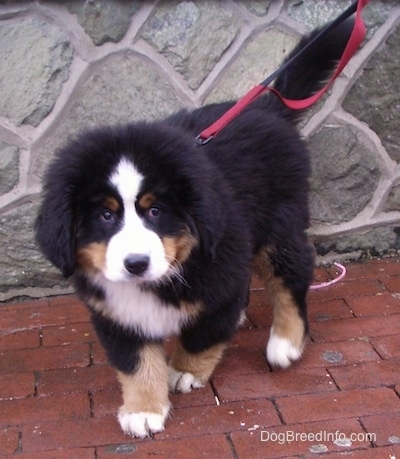 Marley the Bernese Mountain Dog puppy walking towards the camera holder