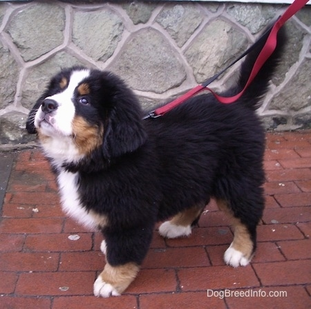 Marley the Bernese Mountain Dog puppy looking up at the sky
