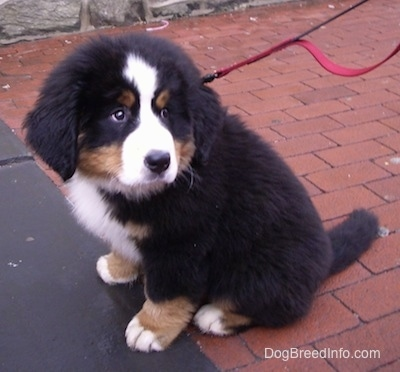 Marley the Bernese Mountain Dog puppy sitting on a brick sidewalk