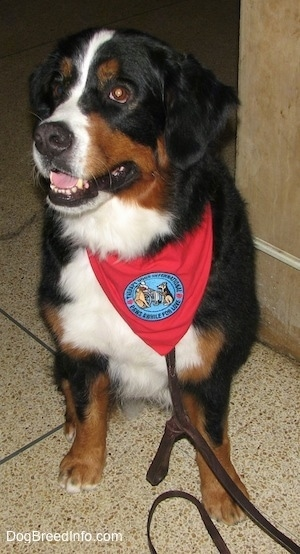 Darla the Bernese Mountain Dog wearing a red bandana with a patch that says 'therapy dog international, paws awhile for love' sitting on a tiled floor
