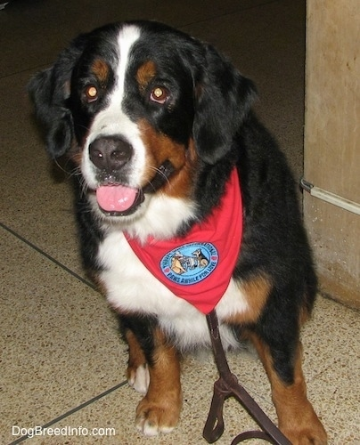 Darla the Bernese Mountain Dog wearing a red bandana with a patch that says 'therapy dog international, paws awhile for love' sitting on a tiled floor with its head down and leaning to the side