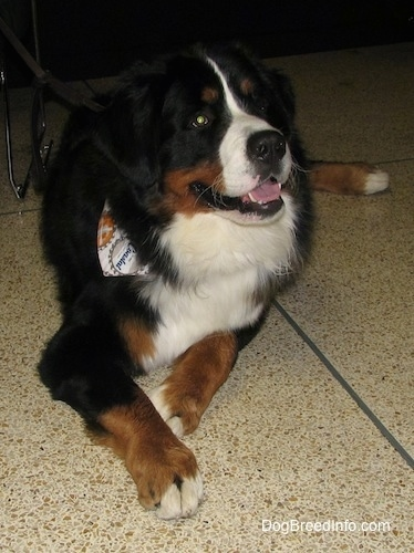 Harvey the Bernese Mountain Dog wearing a bandana laying on a spotted tile floor with his mouth open