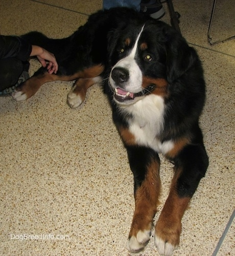 Harvey the Bernese Mountain Dog laying on a tiled floor with his mouth open and a persons hand at its leg