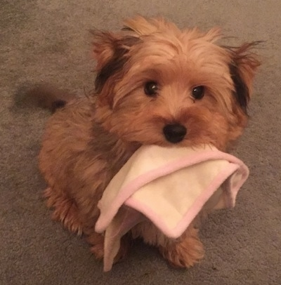 Archey the Bichon Yorkie puppy sitting on carpet with a small white and pink towel in his mouth