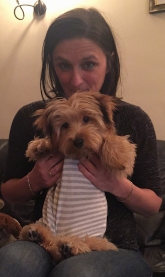 Archey the Bichon Yorkie puppy wearing a tan and white striped shirt in the lap of a lady