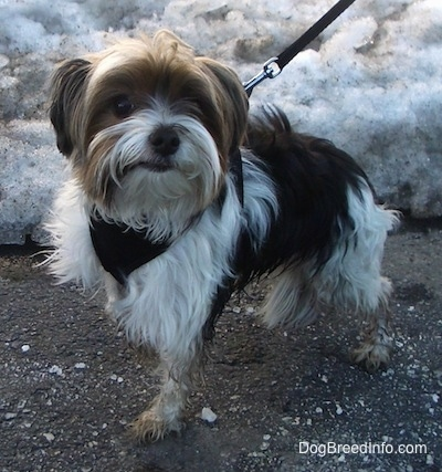 Murphy the Biewer standing on a blacktop surface in front of snow with a leash on
