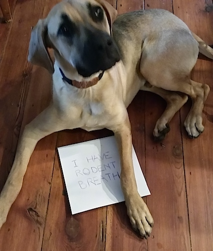 Gus the Black Mouth Cur laying on a hardwood floor with a sign under its front left paw that says 'I have rodent breath'