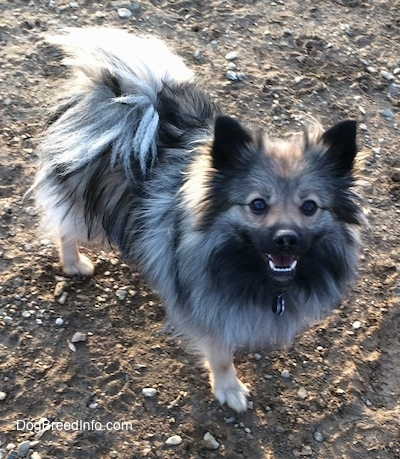 Stella the Black Mouth Pom Cur standing in dirt with mouth open looking up