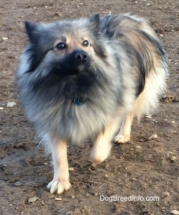 Stella the Black Mouth Pom Cur walking in dirt
