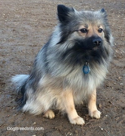 Stella the Black Mouth Pom Cur sitting in mud