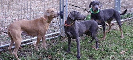 A red Lacy, a blue Lacy and a tri-colored Lacy leashed to the chain link fence they are standing next to.