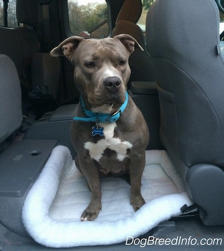 A gray with white blue-nose Pit Bull Terrier is sitting on a dog bed in the back seat area of a vehicle.