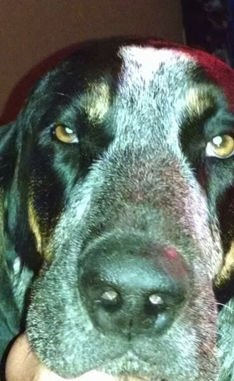 Close Up - Waylon the Bluetick Coonhound face
