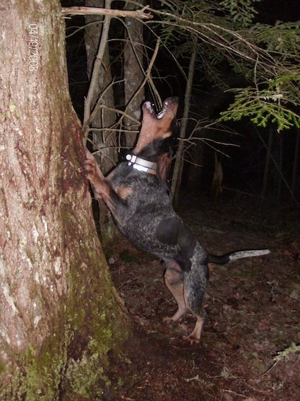 Clements Blue Prancer the Bluetick Coonhound jumping up against a tree and barking