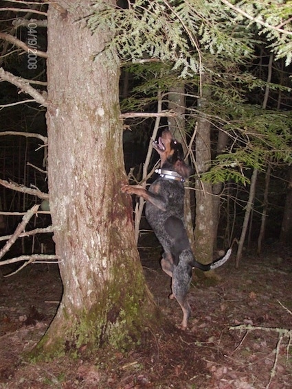 Clements Blue Prancer the Bluetick Coonhound jumping against the tree