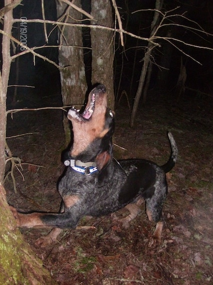 Clements Blue Prancer the Bluetick Coonhound barking and leaning against the tree