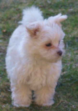 A tan and white Bolo-chi puppy is standing outside in a yard and it is looking to the right.