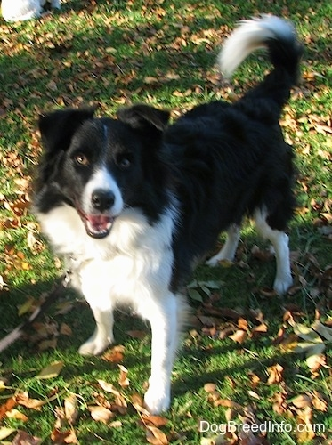 Audria the Border Collie standing in a field with its tail up and its mouth open