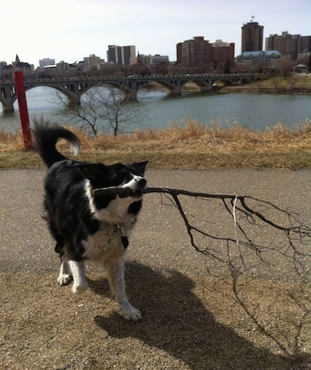 Billie the Border Collie walking down a path with a big stick in its mouth