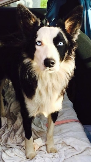 Sandra the Border Collie standing on a blanket in the backseat of a vehicle