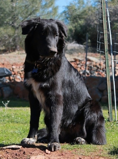 The front left side of a black with white Border Collie Pyrenees that is sitting in grass, it is looking forward and there is a large pile of rocks behind it.